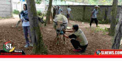 Hewan ternak warga terjangkit penyakit Ngorok