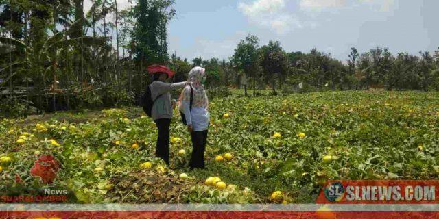 Sukses Dibidang Hortikultura, Desa Katang Kedatangan Tamu dari Petani Desa Arjangke