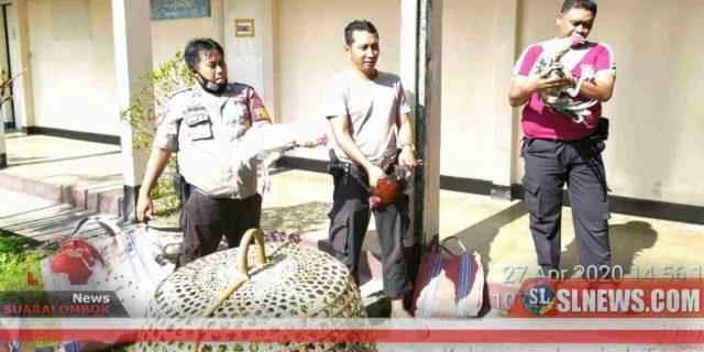 Sabung Ayam Yang Beraktivitas di Bulan Puasa di Desa Sengkol Digulung Polisi