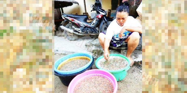 Festival Pesona Bau Nyale 2017,  Jum'at Pagi, Nyale Akan Tumpah Dipantai Seger