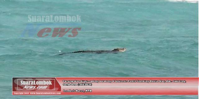 Warga Sekotong Digegerkan Buaya Sedang Berenang di Pantai Nambung
