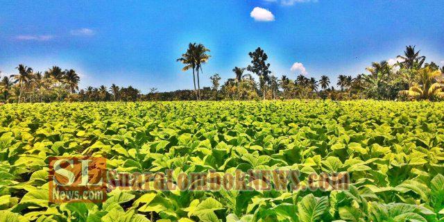 Dinas Pertanian Bantah Lahan Tembakau Menyusut