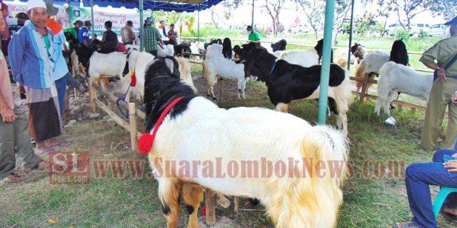 120 Ekor Sapi dan 45 Kambing Pilihan Meriahkan Kontes Ternak
